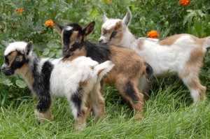 baby nigerian dwarf goats for sale