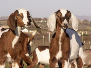 spotted nubian goats for sale