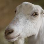 LaMancha Dairy Goats