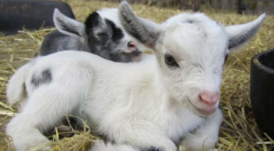 where to buy pygmy goats
