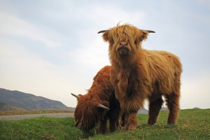 Scottish Highland