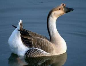 african-goose