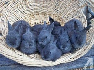 american-blue-rabbit