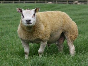 beltex-sheep
