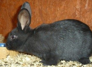 beveren-rabbit