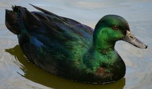 black-east-indian-duck