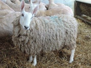 border-leicester-sheep