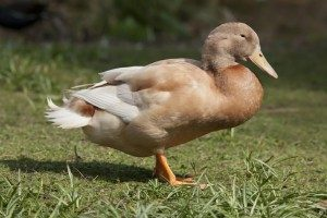 buff-orpington-duck