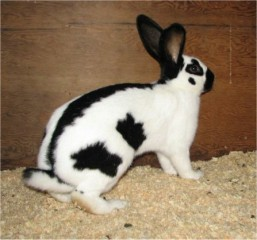 checked-giant-rabbit