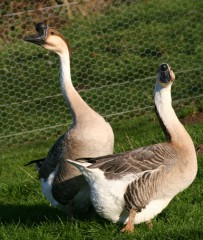 chinese-geese