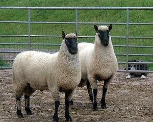 clun-forest-sheep