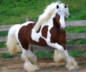 clydesdale-horse