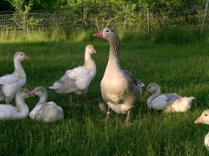 cotton-patch-goose