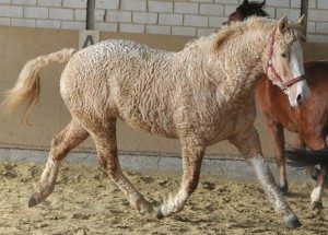 curly-horse