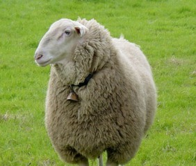 east-friesian-sheep