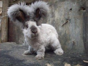 english-angora-rabbit
