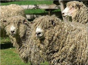 english-leicester-sheep