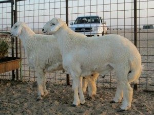 Fat-tailed Sheep For Sale in Florida!Hobby Farm Wisdom