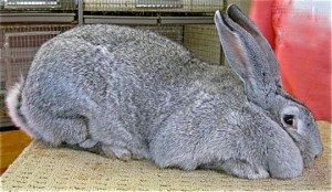 flemish-giant-rabbit