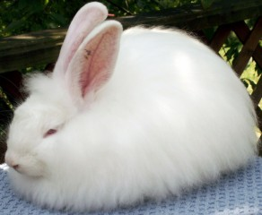french-angora-rabbit