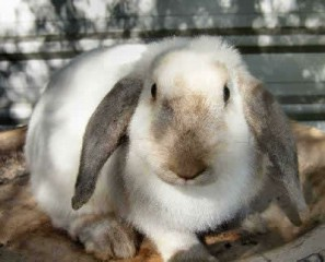 french-lop-rabbit