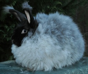 german-angora-rabbit