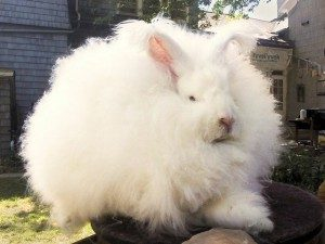 giant-angora-rabbit