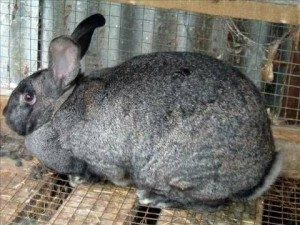 giant-chinchilla-rabbit