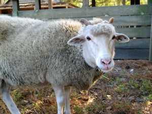 gulf-coast-native-sheep