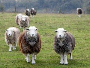 herdwick-sheep