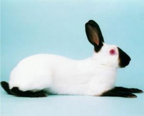 himalayan-rabbit