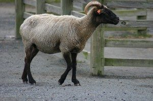 hog-island-sheep