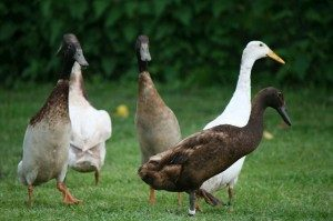 indian-runner-duck