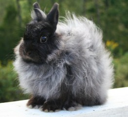 jersey-wooly-rabbit