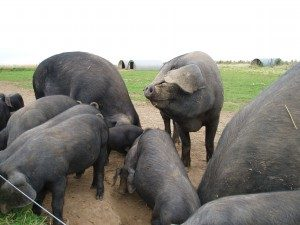 large-black-devon-pigs