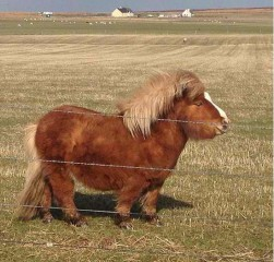 miniature-pony