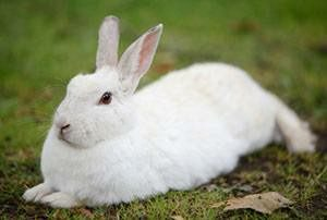 new-zealand-rabbit