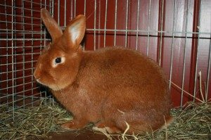 new-zealand-red-rabbit
