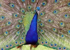 peacock-picture
