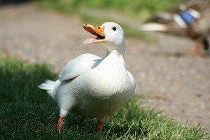 pekin-duck