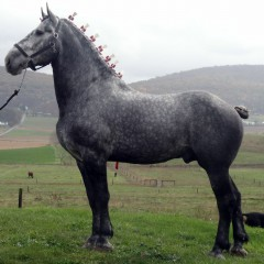 percheron-horse