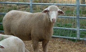 rambouillet-sheep