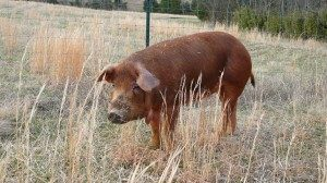 red_wattle_pig