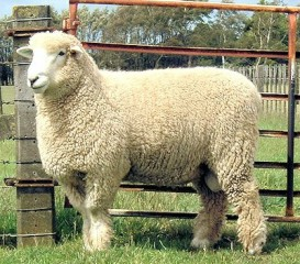 romney-sheep