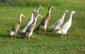 runner-ducks