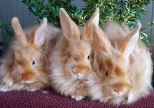 satin-angora-rabbit