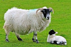 scottish-blackface-sheep