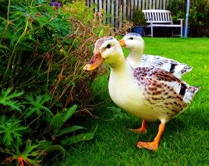 silver-appleyard-bantam-ducks