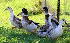 silver-appleyard-miniature-ducks