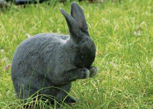 silver-fox-rabbit
